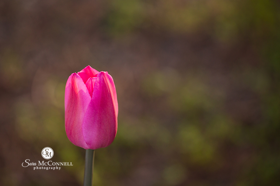 close up of a tulip