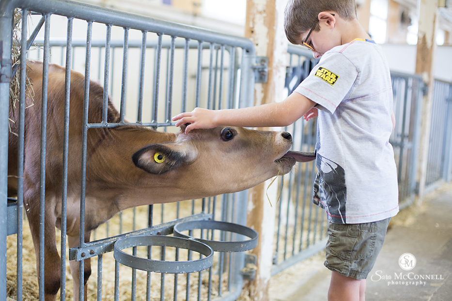 baby cow at the Canada Food and Agriculture museum licking young boy
