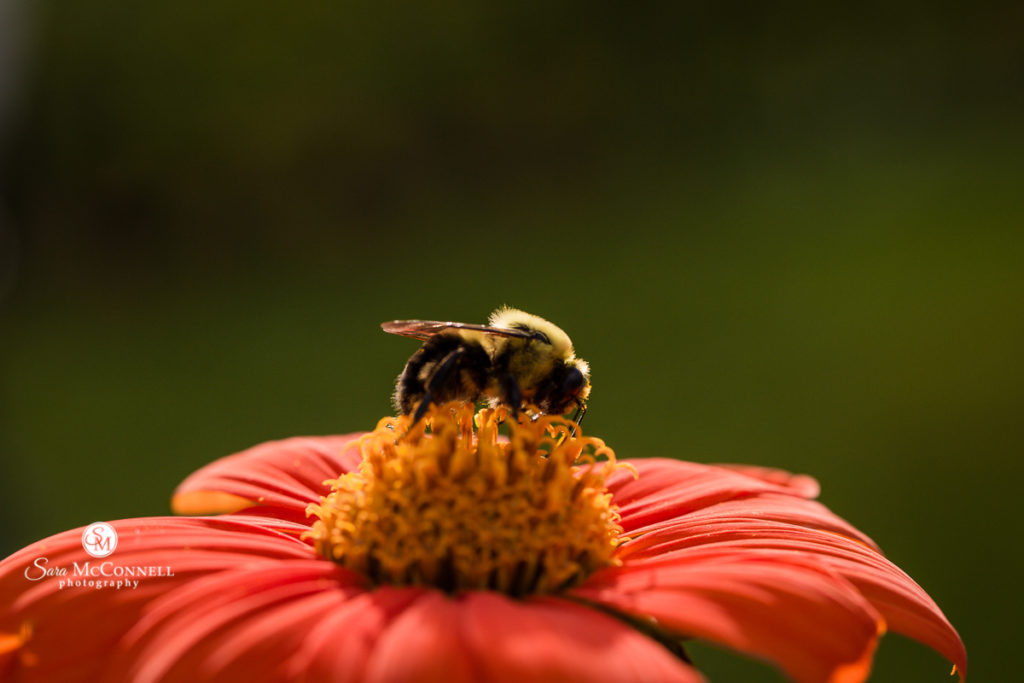 bumblebee sitting on a red flower